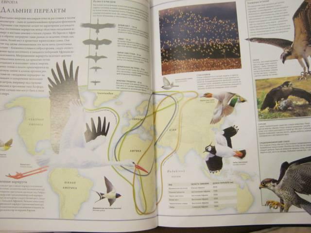 Иллюстрация 65 из 84 для Животный мир. Иллюстрированный атлас - Бамбарадения, Вудрафф, Гинзберг | Лабиринт - книги. Источник: М-и-л-е-н-а