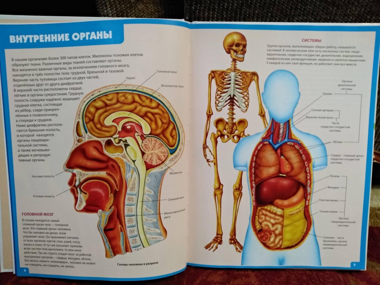 Анатомия человека в картинках и с описанием