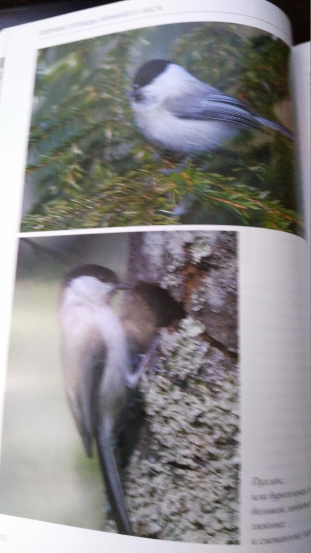 Иллюстрация 11 из 51 для Лесные птицы России - Константин Михайлов | Лабиринт - книги. Источник: Galinka