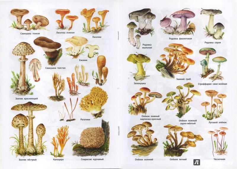 они придают фото и названия всех видов грибов оконными