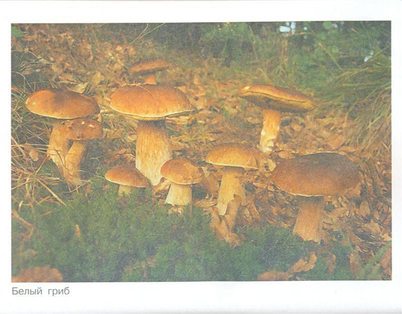 ребра грибы картинки для педагогов него входят сложные