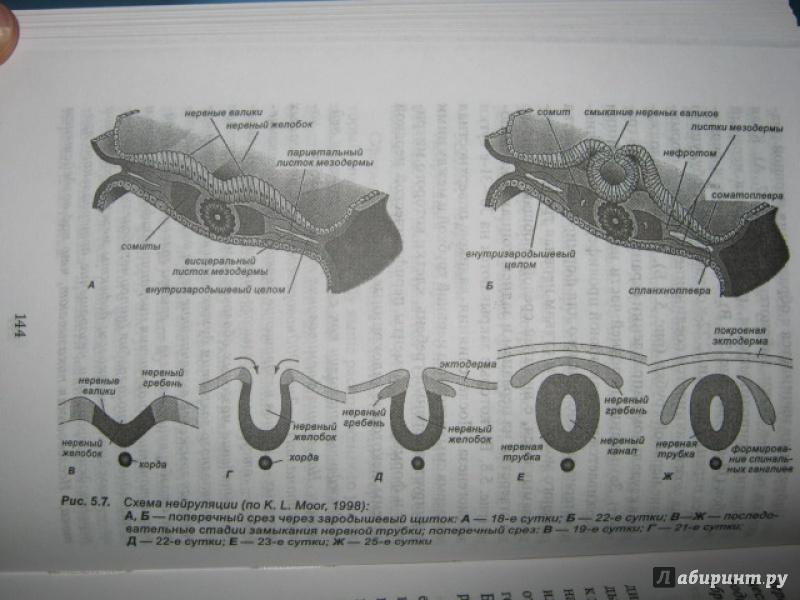 Иллюстрация 31 из 37 для Эмбриология. Учебное пособие - Студеникина, Слука   Лабиринт - книги. Источник: Евгения39