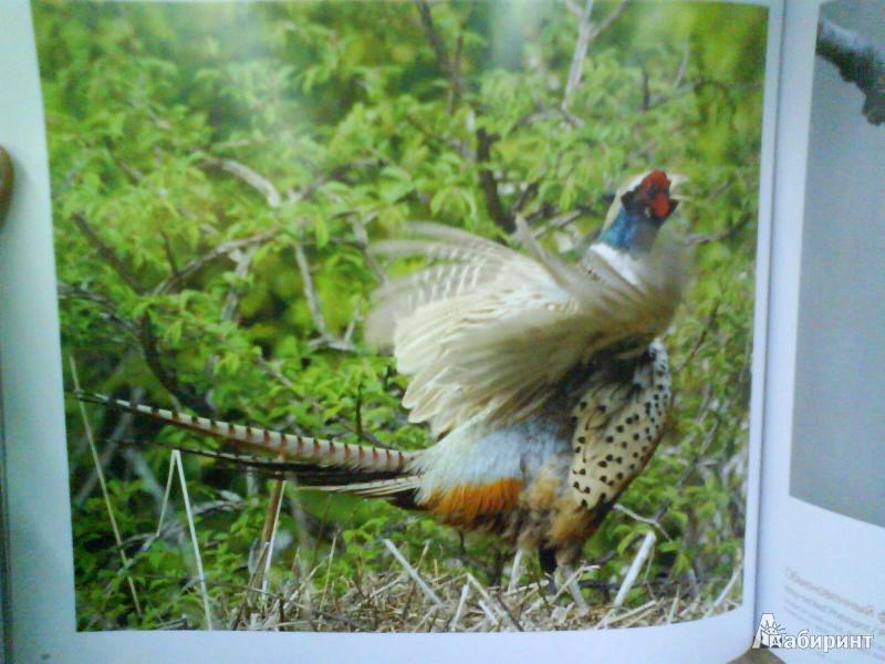 Иллюстрация 7 из 14 для Птицы России - Валерий Малеев | Лабиринт - книги. Источник: Мила