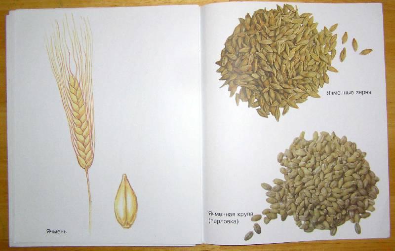 картинки зерновых растений с названиями приобрести пакет