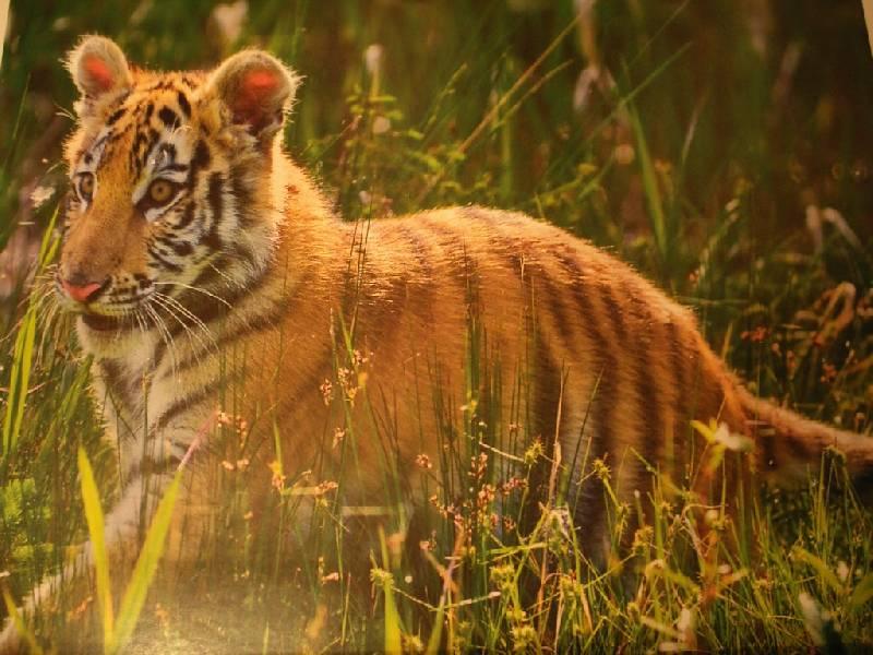Иллюстрация 1 из 19 для Календарь. 2010 год. Тигрята (70915) | Лабиринт - сувениры. Источник: Tiger.