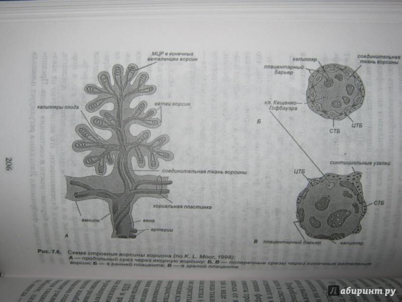 Иллюстрация 32 из 37 для Эмбриология. Учебное пособие - Студеникина, Слука | Лабиринт - книги. Источник: Евгения39
