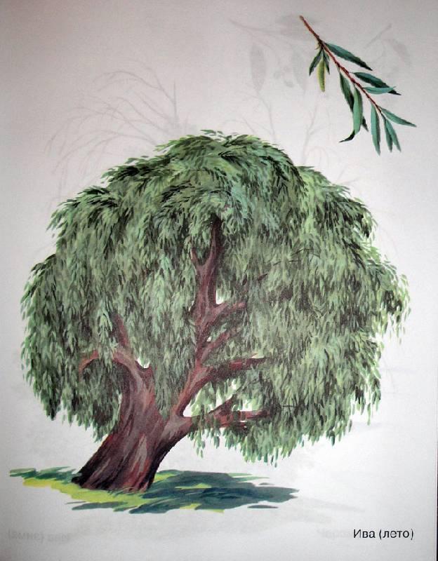картинка дерева гадыбалас заказ доставкой букет