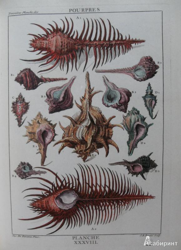 Иллюстрация 8 из 12 для Shell - Muscheln - Coquillages - Carpita, Willmann, Willmann   Лабиринт - книги. Источник: Комаров Владимир