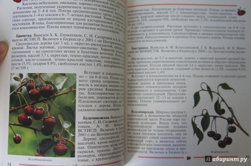 Иллюстрация 10 из 33 для Вишня, черешня. Пособие для садоводов-любителей - Еремина, Юшев | Лабиринт - книги. Источник: Синявина Ольга Анатольевна