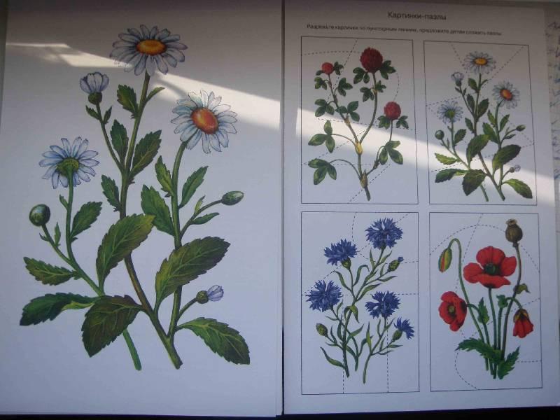 Цветы луговые картинки для детей